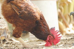 Rhode island red Stock Photo