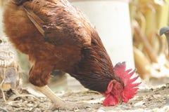 Rhode - vermelho da ilha Foto de Stock