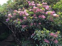 Rhodedendron rosa luminoso Fotografia Stock