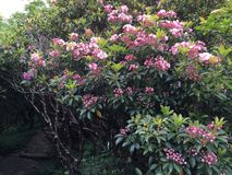 Rhodedendron rose lumineux Photographie stock