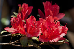 Rhodedendron simsii Stock Images