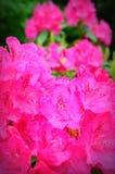 Rhodedendrons rosado Imágenes de archivo libres de regalías