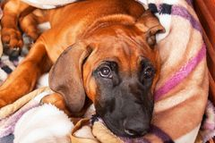 Rhodeian Ridgeback Puppy is lying on the floor. Resting young dog. Dog`s eyes. Stock Photography