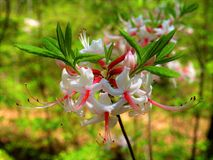 Rhodendron Pinxterflower 库存图片
