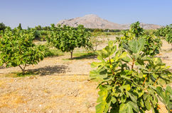Rhodes fig plantation Royalty Free Stock Image