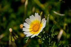 Rhodes& x27; fiore di s Fotografie Stock Libere da Diritti