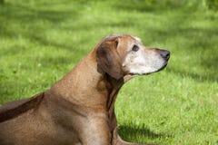 rhodesian πρεσβύτερος ridgeback πορτρέτου σκυλιών Στοκ εικόνα με δικαίωμα ελεύθερης χρήσης