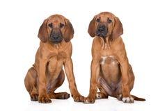 2 rhodesian щенят ridgeback на белизне Стоковое Изображение