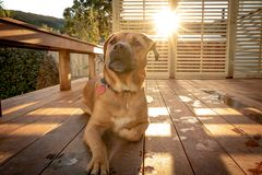 Rhodesian Dog Sits On Porch As Sunsets On Summer Day. Dog rests on porch in the afternoon on warm day Royalty Free Stock Image