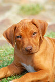 Rhodesian hound puppy Royalty Free Stock Photography