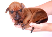 Rhodesian puppy in hands Royalty Free Stock Photo