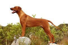 Rhodesian Ridgback posing royalty free stock image