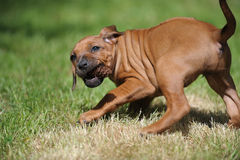 Rhodesian Ridgback Puppy playing crazy Royalty Free Stock Image