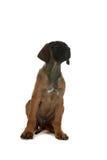 Rhodesian ridgback puppy sitting Stock Photos