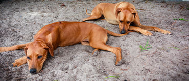Resting dogs Royalty Free Stock Photo