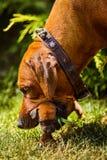 Rhodesian Ridgeback母亲狗运载她的与嘴的小狗 免版税库存图片