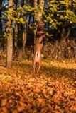 Rhodesian Ridgeback狗在两条腿跳 图库摄影