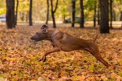 Rhodesian Ridgeback狗在被研的秋叶跑 免版税库存照片