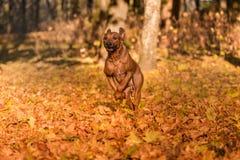 Rhodesian Ridgeback狗在被研的秋叶跑 库存图片
