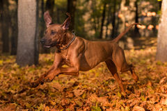 Rhodesian Ridgeback狗在被研的秋叶跑 免版税库存图片