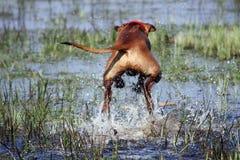 Rhodesian Ridgeback stock fotografie