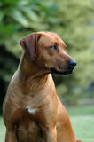 Rhodesian Ridgeback photos stock