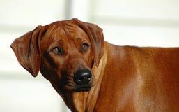 Rhodesian Ridgeback. Portrait of Rhodesian Ridgeback dog looking over shoulder, white background Stock Photo