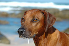 Rhodesian Ridgeback. A beautiful Rhodesian Ridgeback hound dog head portrait with alert expression in the face watching other dogs on the beach outdoors royalty free stock image