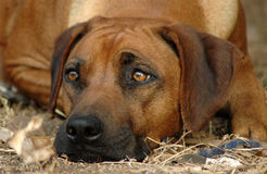 Rhodesian Ridgeback. A beautiful Rhodesian Ridgeback hound dog head portrait with alert expression in the pretty face lying down and watching other dogs in the royalty free stock image