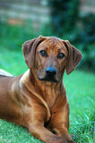 Rhodesian Ridgeback. A cute African Rhodesian Ridgeback hound dog watching nature and other dogs in the garden royalty free stock image