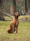Rhodesian Ridgeback Royalty Free Stock Photos