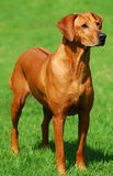 Rhodesian Ridgeback Stock Photo