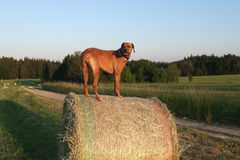 Free Rhodesian Ridgeback Royalty Free Stock Photo - 18658735