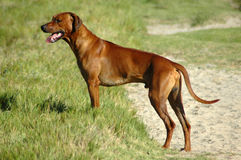 Rhodesian Ridgeback. A beautiful male Rhodesian Ridgeback hound dog standing in nature watching wild animals in South Africa Stock Photos