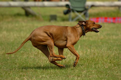Rhodesian ridgeback. Running across a meadow stock photography