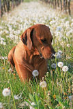 Rhodesian ridgeback. In the vineyards Stock Photos