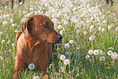 Rhodesian ridgeback. In dandelion field Stock Images