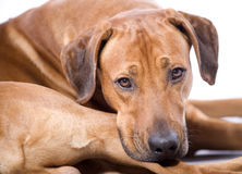 Rhodesian Ridgeback, 3 years,closeup Stock Image