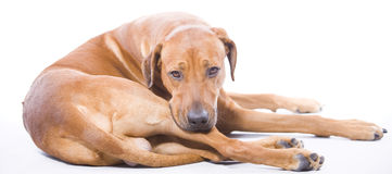 Rhodesian Ridgeback, 3 years full body Royalty Free Stock Photography