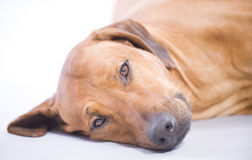 Rhodesian Ridgeback, 3 years, lying Royalty Free Stock Image