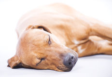Rhodesian Ridgeback, 3 years, sleeping Stock Image