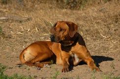 Rhodesian Ridgeback狗 免版税图库摄影