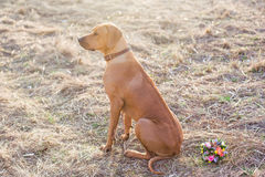 Rhodesian Ridgeback Foto de Stock