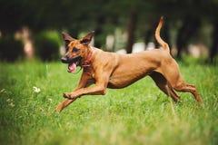 跑在夏天的Rhodesian Ridgeback狗 库存照片