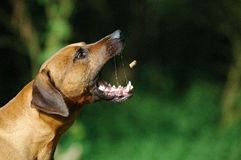 Rhodesian Ridgeback. A Rhodesian Ridgeback male fetch a goody Royalty Free Stock Photography
