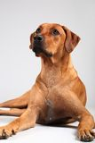 Rhodesian ridgeback Royalty Free Stock Photography