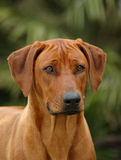 A Rhodesian Ridgeback. A beautiful Rhodesian Ridgeback hound dog head portrait, national dog of South Africa, with alert expression in the pretty face watching Royalty Free Stock Photography