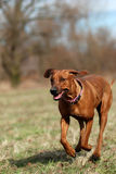 Rhodesian ridgeback in action. Rhodesian ridgeback enjoys running in the nature Royalty Free Stock Photos