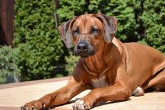 Alert dog Rhodesian Ridgeback Stock Photos
