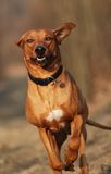 Rhodesian ridgeback as happy runner. Rhodesian ridgeback enjoys running in the nature Stock Photo